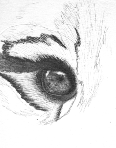 Drawing Realistic Tiger With Pencil-Eyes | OnlyPencil Drawing Tutorials | Page 2