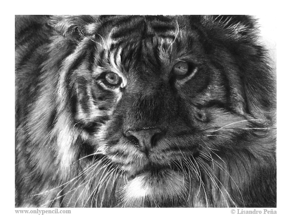 Siberian Tiger Pencil Drawing