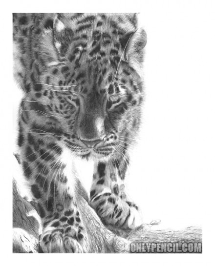 Amur Leopard Pencil Drawing by Lisandro Peña