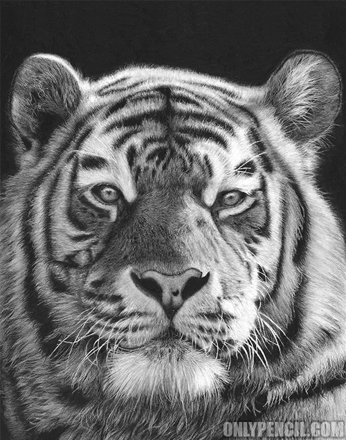 Tiger Pencil and charcoal drawing