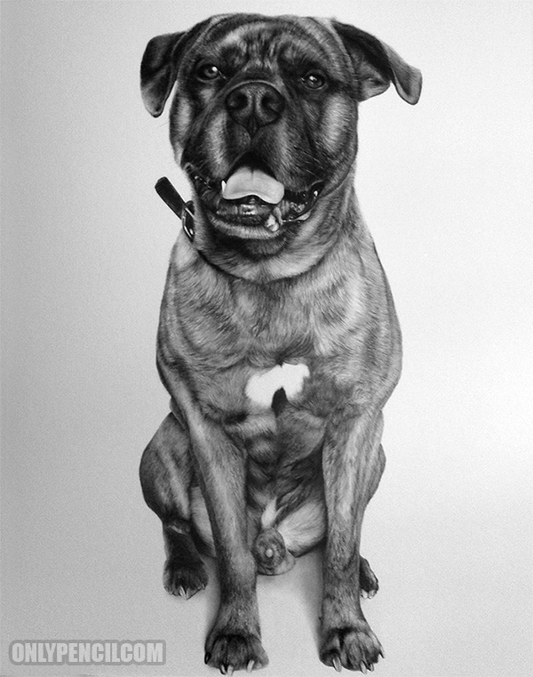 Bowser Bullmastiff Pencil Drawing by Lisandro Pena