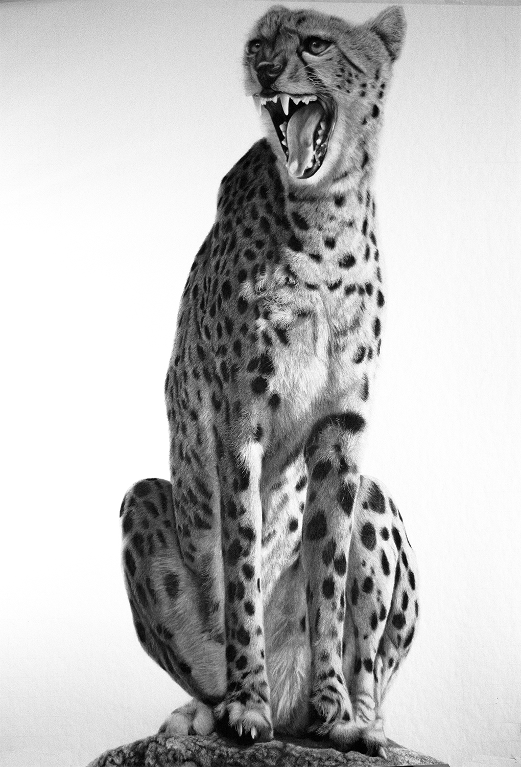 Onlypencil Com Wildlife Pencil Drawings By Lisandro Pe 241 A